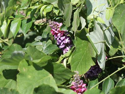 赤紫色の葛の花