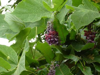 葉影に咲く葛の花