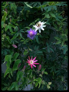 3passiflora.jpg