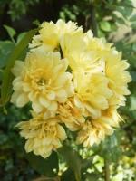 黄色いモッコウバラ満開!�