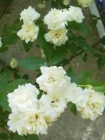 白いモッコウバラ満開!�