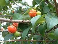 ピタンガの果実