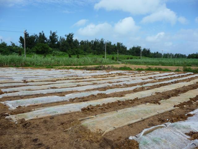 スイカ畑の台風対策