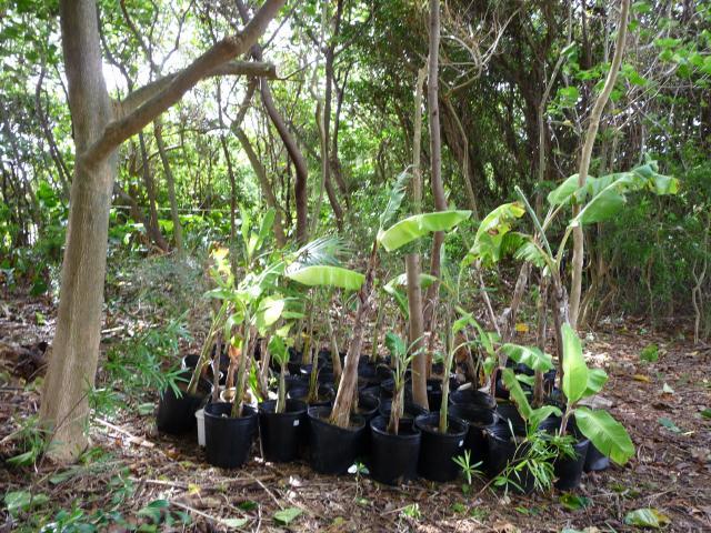 台風避難のバナナたち