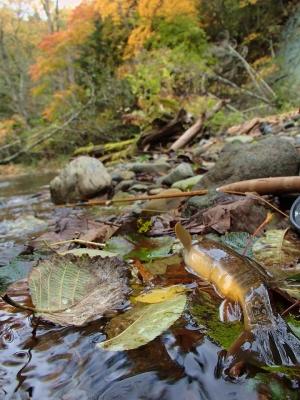 紅葉の渓流でドライフライフィッシング
