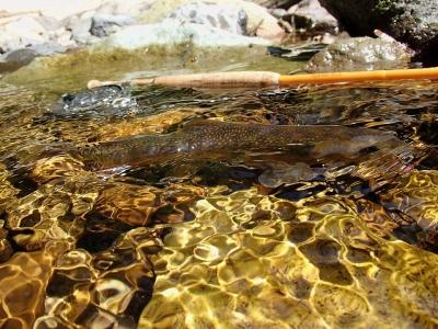 夏の渓流のオショロコマ