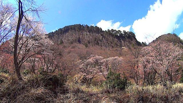 屏風岩公苑の山桜(ヤマザクラ)の開花