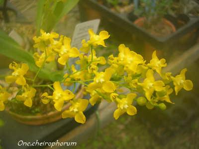 Onc.cheirophorum