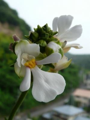 ダルマエビネ(Calanthe alismifolia)
