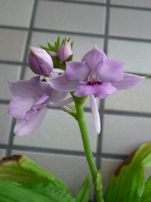 オナガエビネ(Cal.masuca)