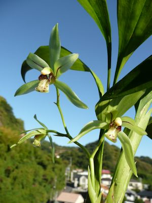 アキザキナギラン(Cym.javanicum var. aspidistrifolium)