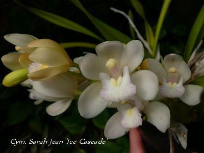 Cym. Sarah Jean Ice Cascade