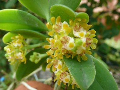 カシノキラン (Gastrochilus japonicus)