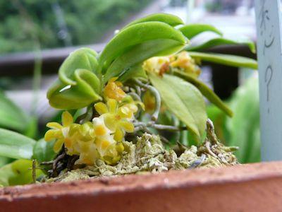 カシノキラン素心 (Gastrochilus japonicus f.alba)