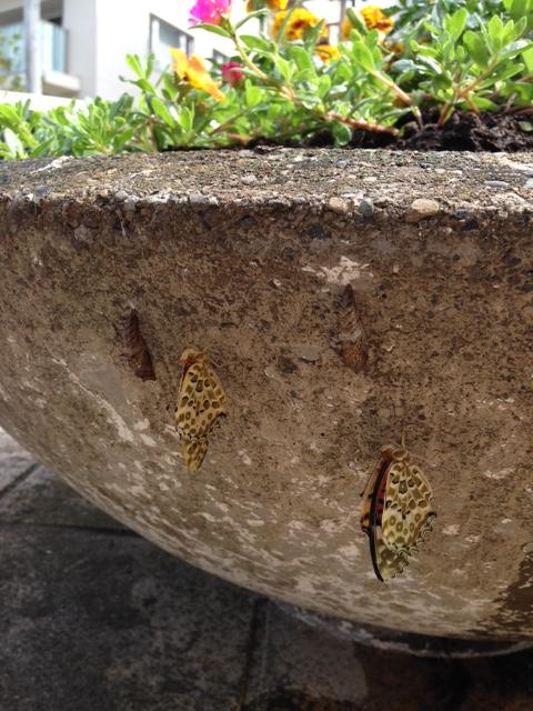 孵化した兄弟蝶