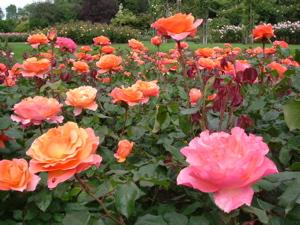リージェントパークのこの時期咲いてたバラ