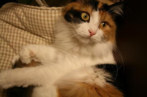 フクザツな猫