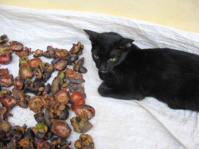 マンゴスチンの皮と猫