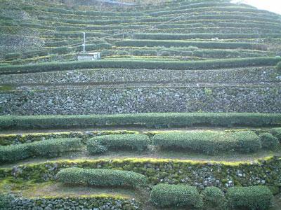 四万十中流域の茶畑