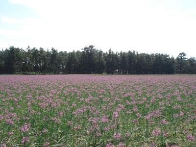 らっきょ畑の風景