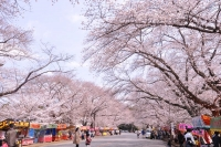 小林分場・桜1