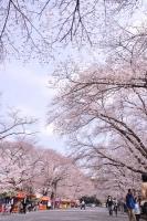 小林分場・桜2