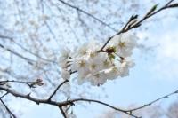 小林分場・桜3