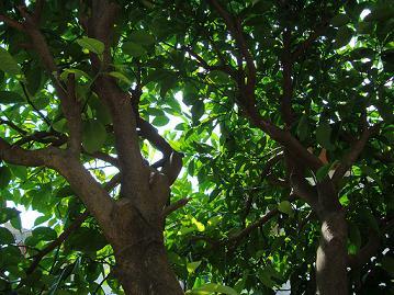 はっさくの樹