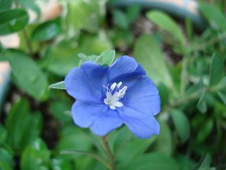 やっと咲いた青い花