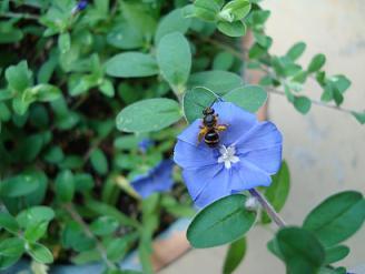 青い花でもお仕事