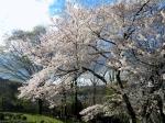 紀伊風土記の丘 桜