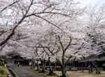 桜 紀伊風土記の丘