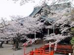 桜 紀三井寺