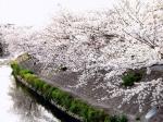 大門川の桜