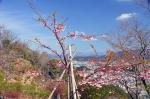 高津子山 河津桜