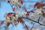 玉津島神社 魁桜