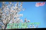NHK 高津子山の桜