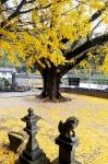 加茂神社の銀杏