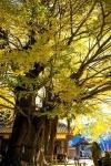 三尾川の銀杏