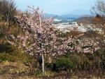 高津子山の河津桜
