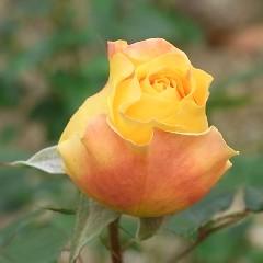 バラの花 キャンドルライト