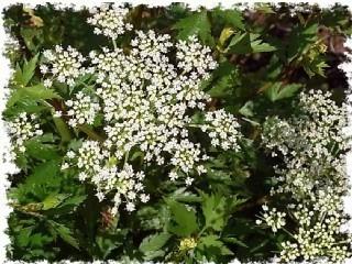 トウキの花