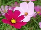 コスモスの花01