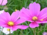 コスモスの花04