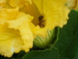 カボチャの花の中にミツバチが