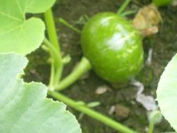 カボチャの果実