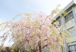 入学式桜.JPG