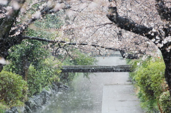 snow&sakura.JPG