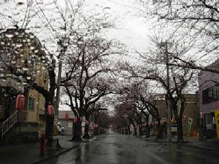 桜川の桜開花前