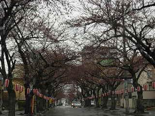 桜川の桜開花前2